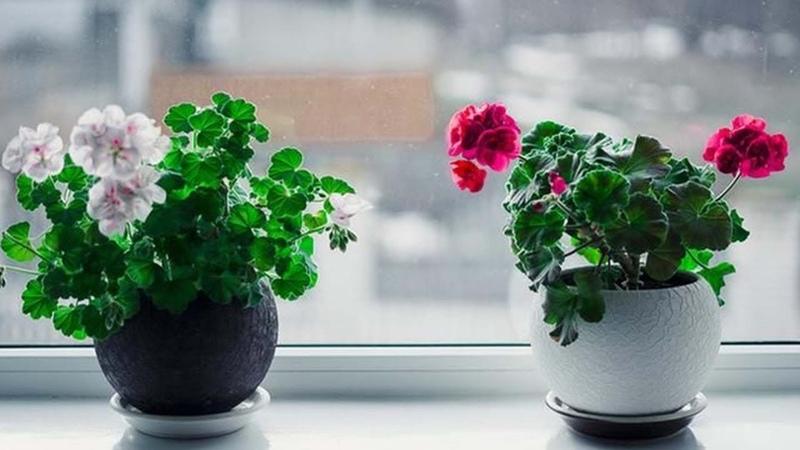 Перекись водорода для комнатных цветов — бальзам в холодное время года.