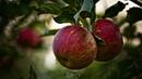 вячеслав малежик яблоки падают яблоки падают
