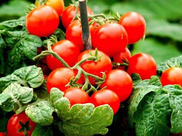 Картинки по запросу помидоры черри