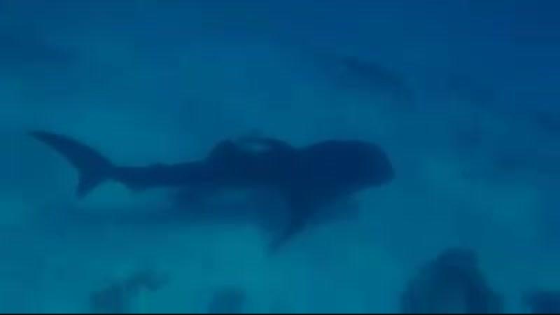 Китовая акулочка в Хургаде