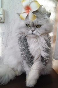 Коты персы шиншилла