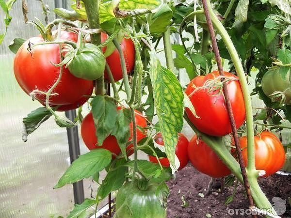 Самые лучшие сорта томатов По отзывам садоводов из разных регионов нашей страны самыми вкусными признаны такие сорта помидоров:Из зеленых - Малахитовая шкатулка.Куст этого томата высокий, более