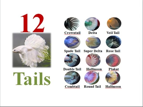 12 Types of betta fish tail and names Part 1