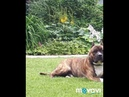 Amstaff - is not a killer, it is athlete, intellectual, and reliable friend! Tcenniy Prize kennel.
