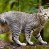 ПИКСИБОБ - домашняя кошка-рысь!