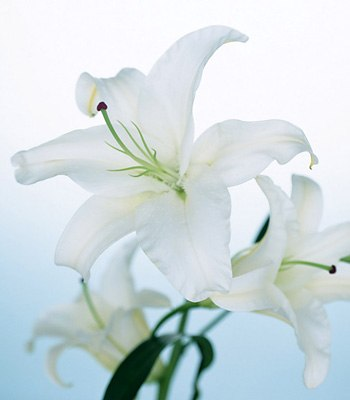 біла квітка