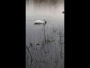Лебедь в Южном Бутове