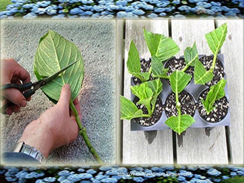 Выращивание гортензии в домашних условиях