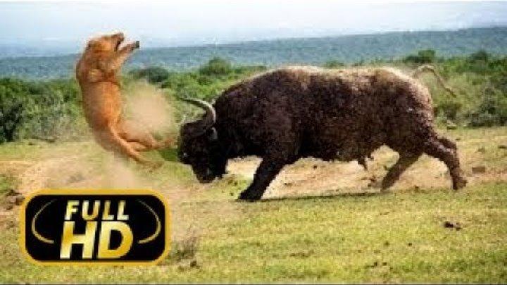 Лев против буйвола Кровная вражда FULL HD Документальный фильм 2018 на Amazing Animals TV