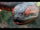 Las Anacondas Gigantes mas grandes del mundo documental