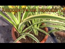 Комнатное растение. Хлорофитум. Как пересадить хлорофитум?!