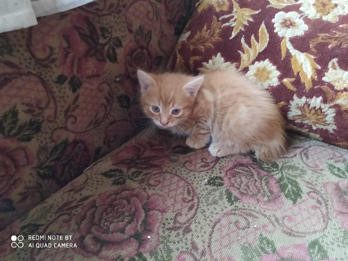 Отдам рыжих в добрые руки рыжих котят. | Объявления Орска и Новотроицка №5258