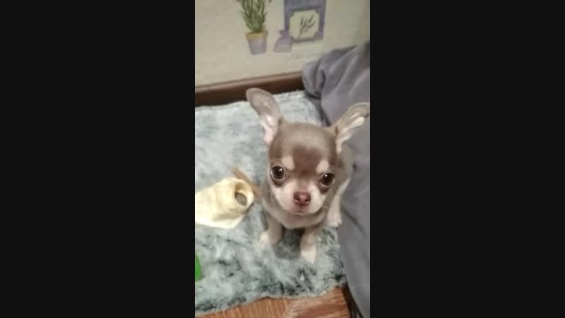 Милый щенок чихуахуа в новом доме, поёт под гармошку))