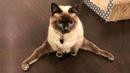 Смешные коты и котики, приколы про котов до слез - Смешные кошки и люди funny cats 2018