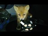 Малыш Тор  Baby fox
