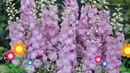 Дельфиниум культурный Пасифик Джайант Джиневер Обзор delphinium cultorum Pacific Giant Guinevere