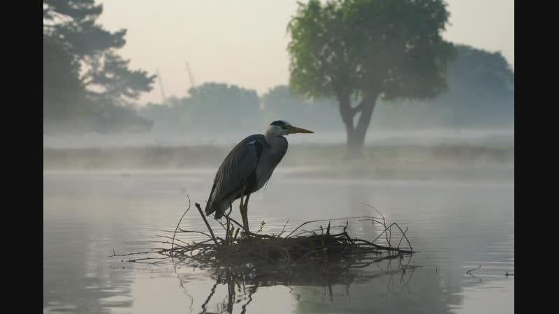Цапля / Heron