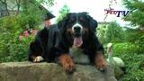 Berner Sennenhund Informationen zur Rasse
