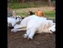 пока пастух спит
