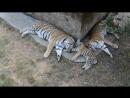 Тигриная семья Тайган