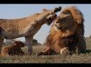 Тайный мир животных: Львы, гепарды, леопарды | жестокий мир хищников [2013]