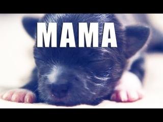 Воодушевляющий мотивационный ролик про маму (щенки чихуахуа)