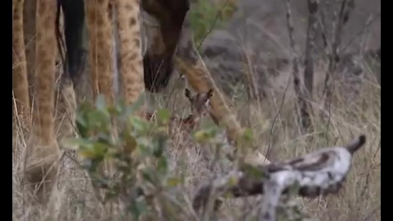Детёныш импалы и жираф