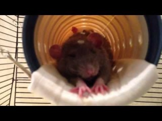Крыса зевает - Жизнь Домашних Крыс/rat yawns