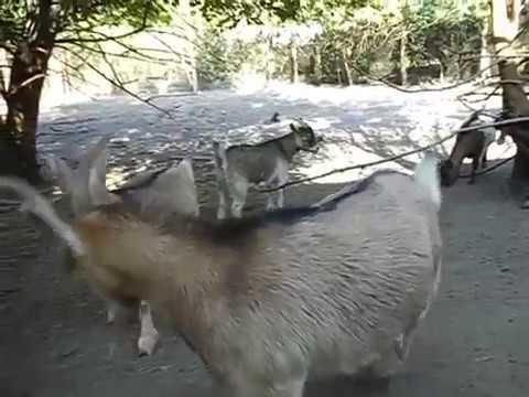 Какое молоко у камерунских коз. Чем кормить что бы было вкусное молоко