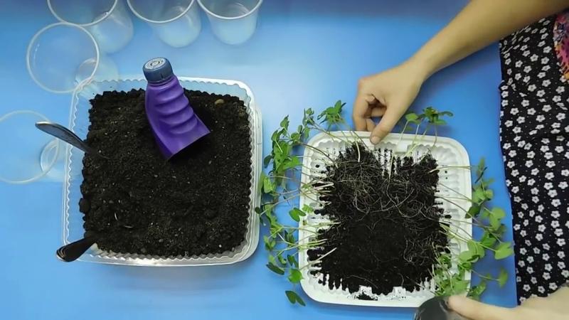 🌹🌹🌹РАССАДА ИПОМЕИ ! Как посеять, подкормить, пересадить молодые растения