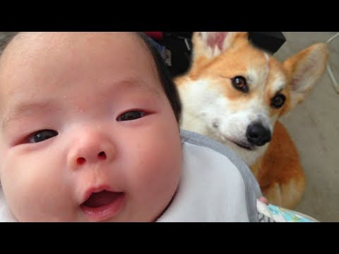 Cute Corgi Playing with Babies Compilation