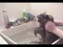Как не надо мыть кота. How do not to bathe a cat