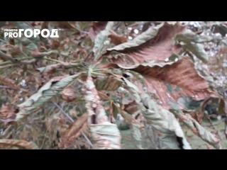 Каштановая минирующая моль на деревьях в Рязани