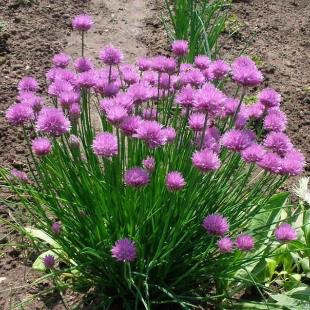 шнитт- лук шнитт-лук пищевое растение, представитель семейства луковые. данный вид лука имеет нитевидные корни, ярко-зеленые листья, цветет зелень несколько недель фиолетовыми цветами.