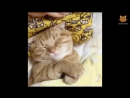 Приятные сны...「かわいい猫」 笑わないようにしようとしてください