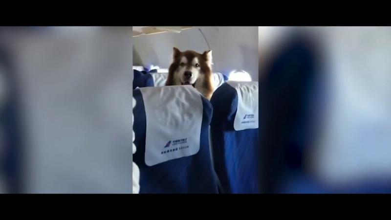 Adorable alaskan malamute seen accompanying owner on China flight