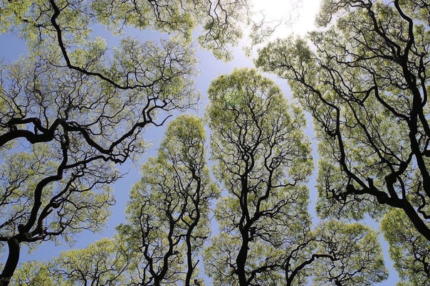 «Застенчивость» в ботанике - явление, при котором некоторые деревья держат расстояние между друг другом.