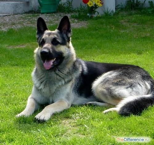 Разница между немецкой и восточноевропейской овчаркой Говорят, собаки похожи на своих хозяев. Некоторые по характеру, а некоторые и внешне. И если вы выбираете собаку по этому принципу, то вряд