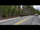Buffalo в Йеллоустонском национальном парке