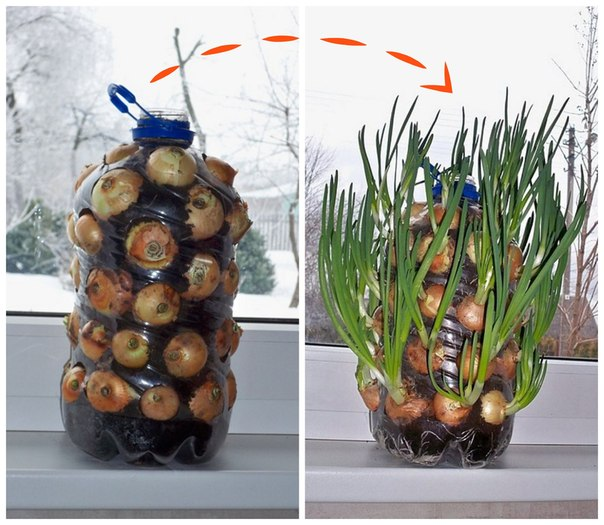 Vertical cultivation of greens in a bottle. Saves a great lot of the place and it is convenient to water.\u000d\u000a\u000d\u000aIt is so possible to grow up not only onions, but also parsley, both fennel, and a celery. \u000d\u000a\u000d\u000aP.S. Less esthetic, but not less layfkhakersky method: instead of the earth it is possible to take toilet paper or sawdust.