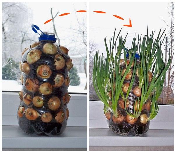 Вертикальное выращивание зелени в бутылке. Экономит уйму места и поливать удобно.  Так можно выращивать не только лук, но и петрушку, и укроп, и сельдерей.   P.S. Менее эстетичный, но не менее лайфхакерский метод: вместо земли можно взять туалетную бумагу или опилки.