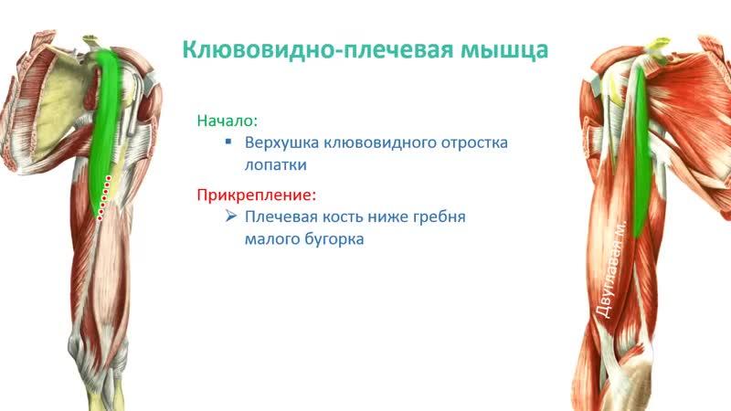 Мышцы пояса верней конечности и плеча- топография, строение, функции