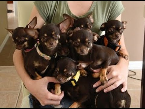 World's smallest living dog Miracle Milly cloned 49 times in South Korea
