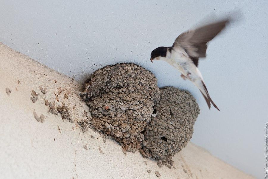 Ласточка у гнезда