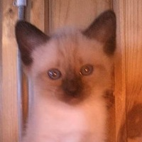 ❤ Голубоглазое чудо-Сиамский кот ❤