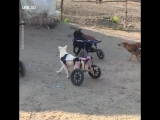 These handicapped dogs playing will melt your heart 🙌😍