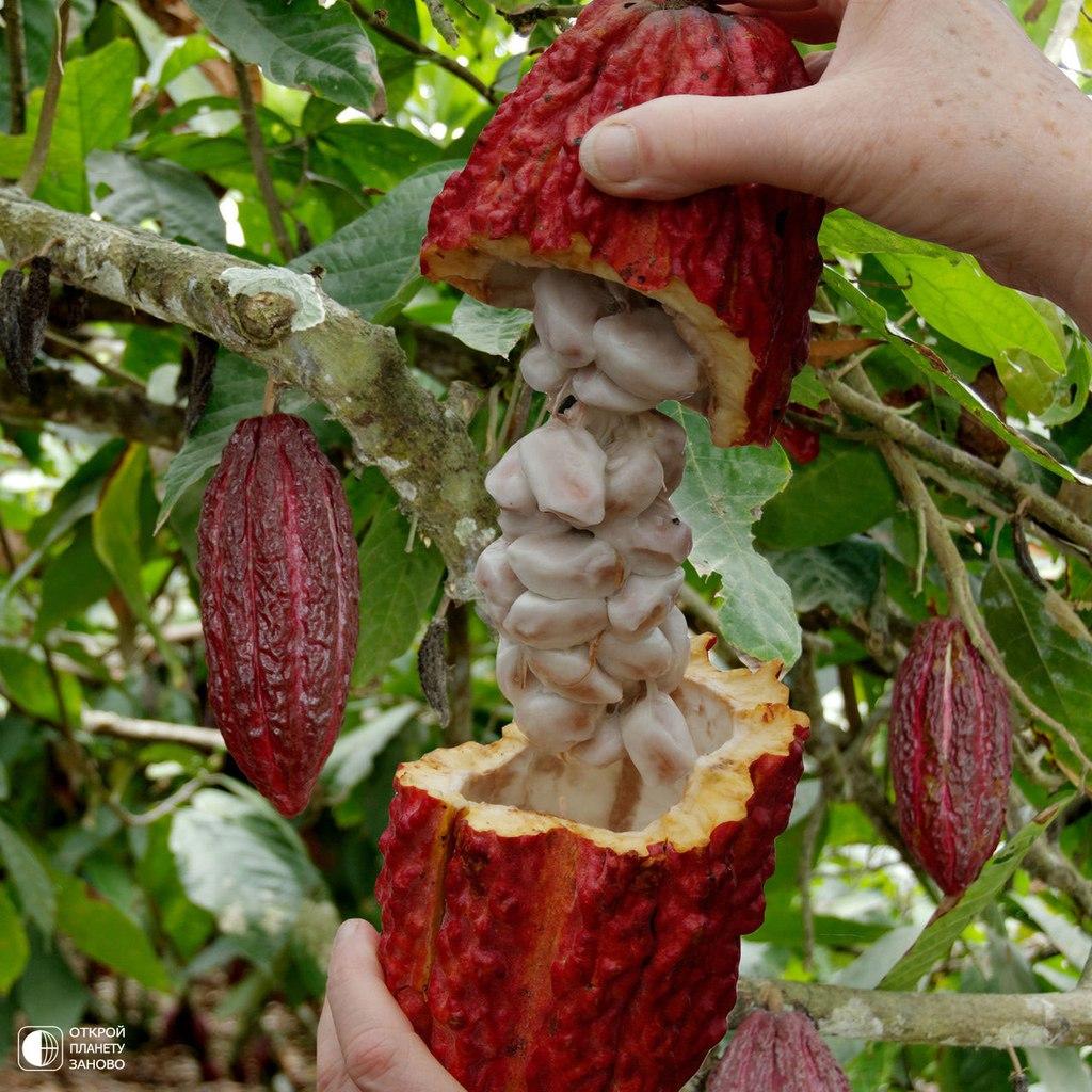 Какао - шоколадное дерево