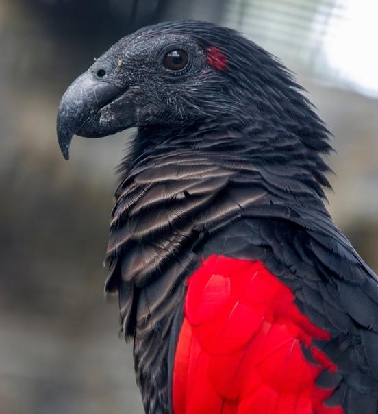 Попугай-Дракула настоящий гот среди птиц Черные как смоль клюв, голова и хвост, серо-черная грудь и алые перья, похожие на подкладку плаща, делают имя Дракула невероятно подходящим для этого