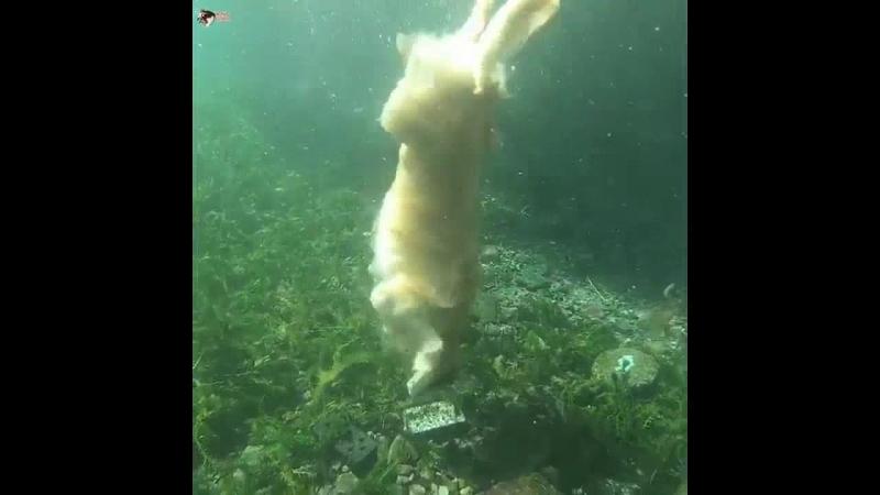 Золотистый ретривер Джилл живет в Японии, любит подводное плавание