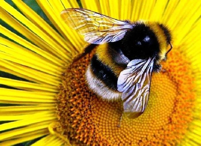 Жужжание пчелы